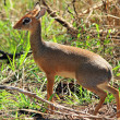 Stockfoto: Female Dik Dik