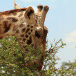 Giraffe Eating a Thorny Acacia Tree — Stock Photo