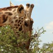Giraffe Eating a Thorny Acacia Tree - Stock Photo