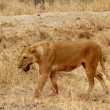 Stok fotoğraf: Lioness- Bloody with Mouth Foaming