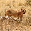 Bloody Lioness stands over Zebra kill — Stock Photo #21309379