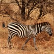 Lone Zebra in the bush — Stock Photo
