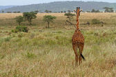 Giraffe Facing Away into the Grass Plains — Stock Photo
