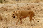 Lioness- Bloody with Mouth Foaming — Stok fotoğraf