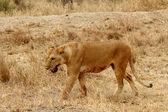 Löwin-blutige mit mund schäumen — Stockfoto