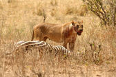 Bloody Lioness stands over Zebra kill — Stock Photo