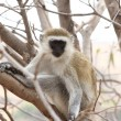 Vervet Monkey Stare — Stock Photo