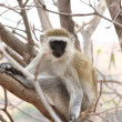 Vervet Monkey Stare - Stock Photo