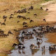 Wildebeest and Zebra gather at drying river — Stok fotoğraf