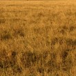 Stock Photo: Yellow Grasslands