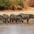 Stock Photo: Zebras (Equus quagga) in watering hole