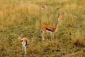 Geschokt gazelle — Stockfoto