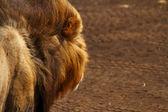 Lion's View — Stockfoto