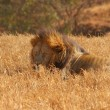 Stock Photo: Male Lion Sleeping in Grasslands