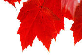 Red Leaves Closeup and Isolated — Stock Photo
