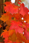 Red Maple Leaves Closeup — Stock Photo