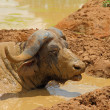 Mud Covered Cape Buffalo — Stock Photo