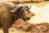 Cape Buffalo Camera Stare — Stock Photo