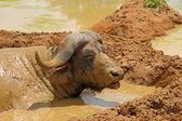 Mud Covered Cape Buffalo — Stock Photo