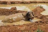 Wallowing Cape Buffalo — Stock Photo