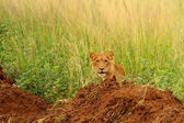Juvenile male lion peers out from long grass — Zdjęcie stockowe