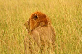 Male lion looks into the long grass — Stock Photo