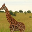 Male Giraffe Against Green Savannah — Stock Photo #48075565