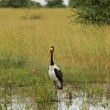 Saddle Billed Stork in Ugandan Marsh — Stock Photo #48075599