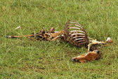 Dead and Rotting Gazelle Carcass — Stock Photo