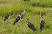 Marabou Stork Group in the Grasslands — Stock Photo