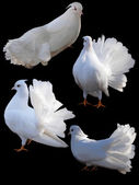 Set of four doves. — Stock Photo