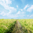 Stock Photo: Rice plant field