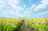 Rice plant field — Stock Photo