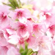 Stock Photo: Kawazu Cherry