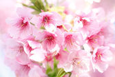 Kawazu Cherry — Stock Photo