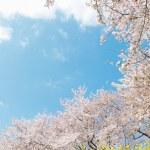 Постер, плакат: Japanese spring scenics