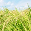 Stock Photo: Rice plant