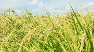Closeup of rice growing in field — Stok video