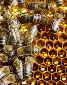 Werkende bijen op de honingraat — Stockfoto