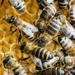 Working bees on honeycomb — Stock Photo #27079451