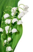 Spring flowers: lily-of-the-valley — Stock Photo