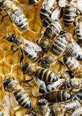 Arbeitung bienen auf honigwabe — Stockfoto