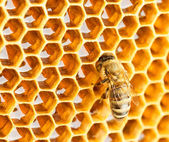 Bee in honeycomb — Stock Photo