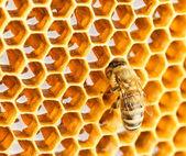 Bee in honingraat — Stockfoto
