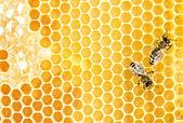 Werkende bijen — Stockfoto