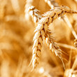 Wheat — Stock Photo #30102183