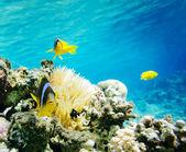 Pesce pagliaccio — Foto Stock