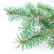 Fir tree branch — Stock fotografie