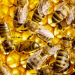Stock Photo: Working bees