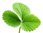 Strawberry leaf — Stock Photo